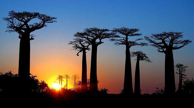 madagascar, viale baobab, allba,