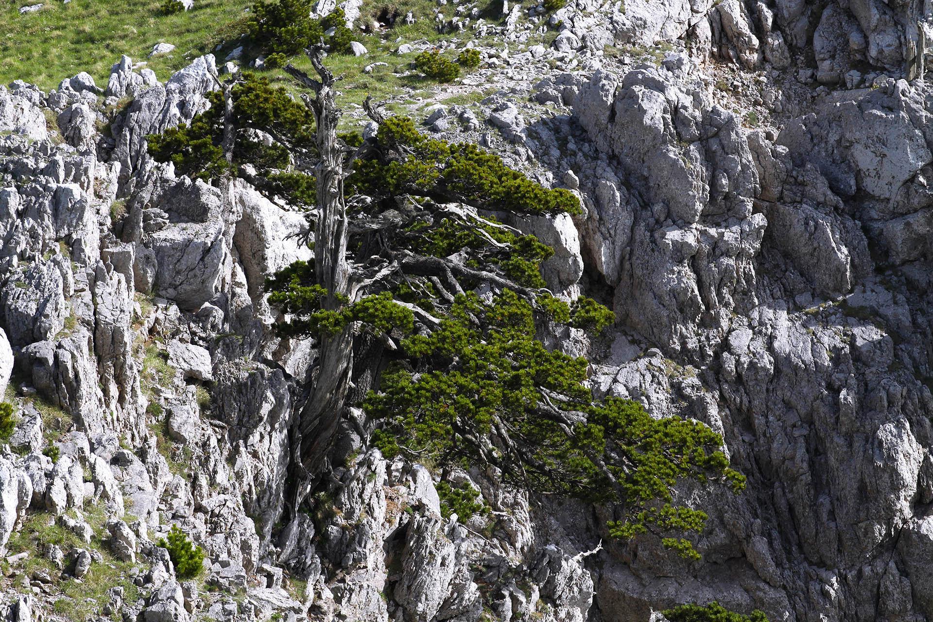 Parco Nazionale del Pollino, pino loricato.